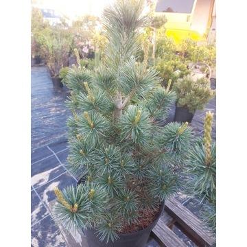 Pinus parviflora 'Negishi' sosna drobnokwiatowa