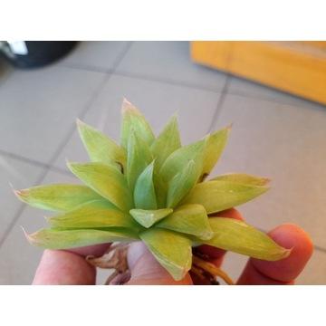 Kaktusy - Haworthia cymbiformis - duża sadzonka