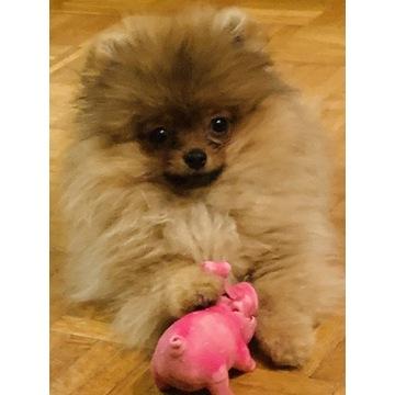 Szpic miniaturowy Pomeranian mini dziewczynka FCI