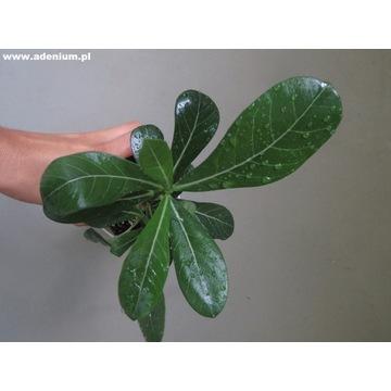Adenium Obesum sadzonka bonsai + nawóz GRATIS