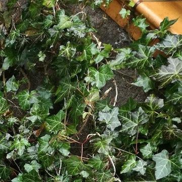 bluszcz,  balkon zielony przez cały rok 120-140cm