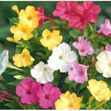 Dziwaczek, piękne kwiaty. Sadzonka