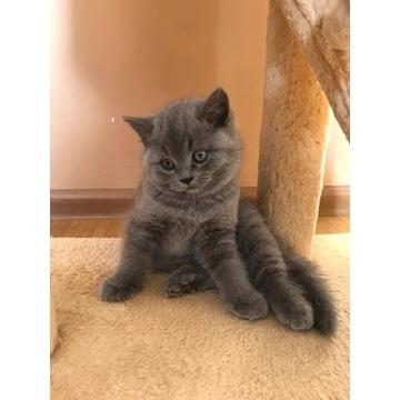 Śliczne kotki brytyjskie z rodowodem.