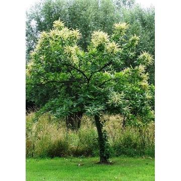 Sadzonki ,drzewka kasztan jadalny