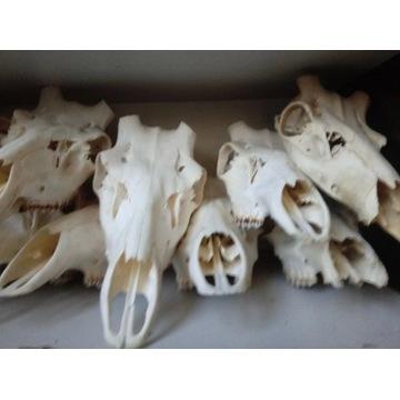 Naturalna czaszka jelenia do obsadzenia pod zrzuty