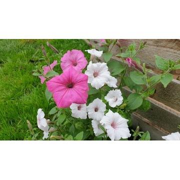Petunia - sadzonki