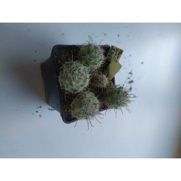 Kaktusy Mammillaria boolii SB433