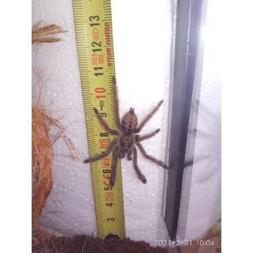 Psalmopoeus cambridgei pająk ptasznik 2DC RZESZÓW