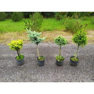 Rośliny szczepione na pniu, sosna, świerk, modrzew