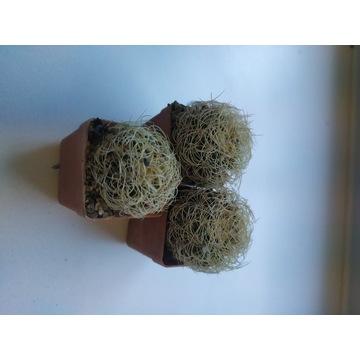 Kaktusy Discocactus zehntneri v. araneispinus