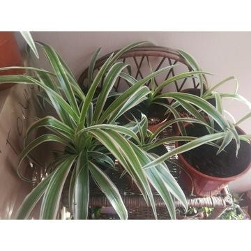 Zielistka sternberga variegata