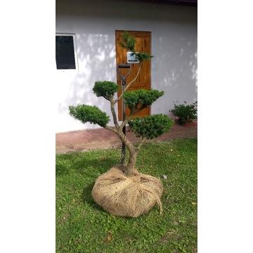 CIS formowany BONSAI do ogrodu NIWAKI
