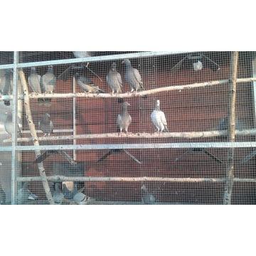 Gołębie pocztowe młode spzedam nadwyżkę od Mistrza