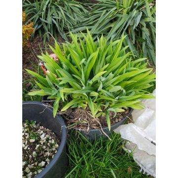 Liliowiec pomarańczowy cała karpa korzeniowa