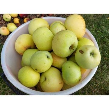 Jabłoń kosztela   producent !!!