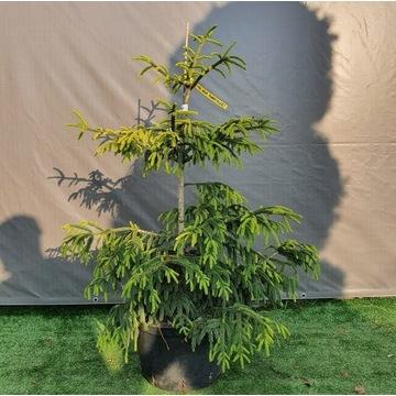 Picea orientalis Aureospicata Aurea świerk kaukask