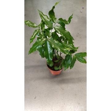 Kasztan  Kasztanowiec Australijski  Castanospermum