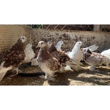 Gołębie Loczki Pary