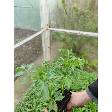 Ekologiczne sadzonki pomidorów