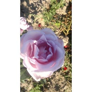 róża wielkokwiatowa niebieska Producent!!!!