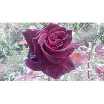 róża  bordo 80 cm Producent!!!!