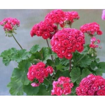 Pelargonia odmianowa Rosebud Supreme