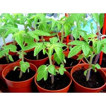 Pomidor malinowy i biały wczesne sadzonka