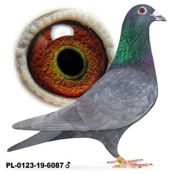 Piękny Samiec Andaluz 2019 gołąb gołębie pocztowe