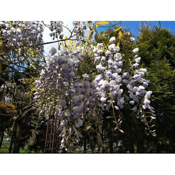 Glicynia Wisteria nasiona 10 sztuk