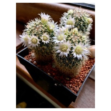 Kaktus Mammillaria zeilmanniana