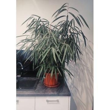Ficus alii wąskolistny sadzonka