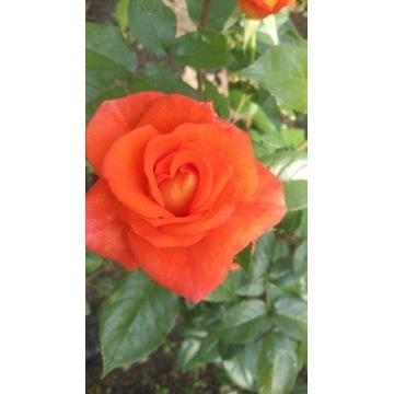 róża  pomarańczowa  80 cm Producent!!!!