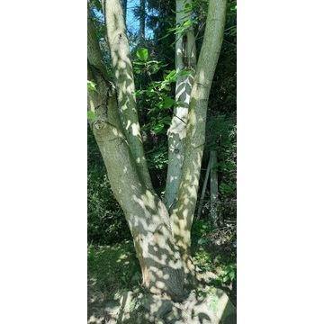 Drzewo Orzech włoski