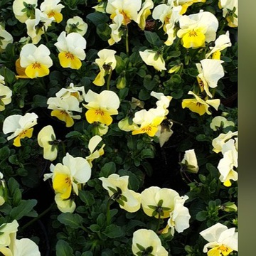 Bratki drobnokwiatowe mix kolorów 20 szt.