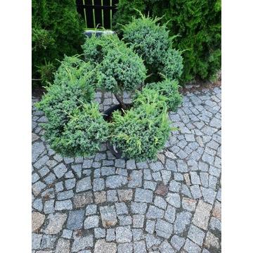 Thuja bonsai