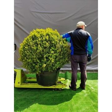 Bukszpan Zielony GIGANT Buxus sempervirens KULA