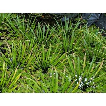 Osoka Aloesowata do oczko wodne roślina