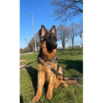Pies owczarek niemiecki