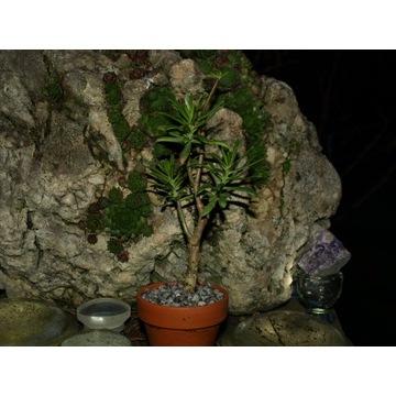 SEDUM FRUTESCENS CAUDEX na drzewko BONSAI 14 cm.