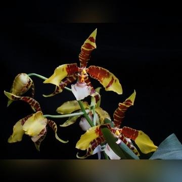 Storczyk Rossioglossum grande