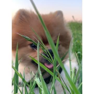 Pieski i suczki BOO - Pomeranian Szpic Miniaturowy