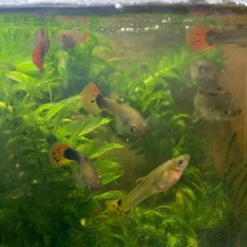Ryby gupiki karmione zywym pokarmem