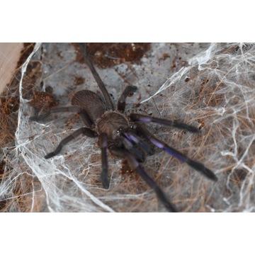 Chilobrachys sp. electric blue  Samiec+Samica