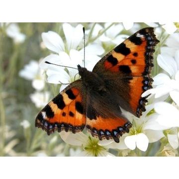 Motyl Rusałka Pokrzywnik - 5 gąsienic do hodowli