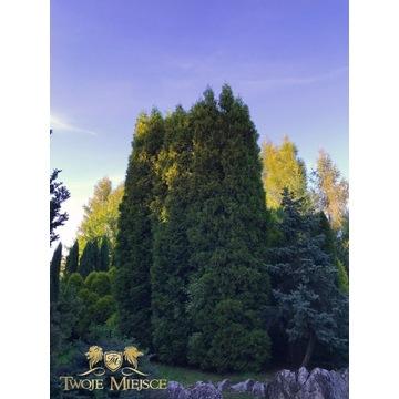 Wysoka TUJA THUJA Columna Duże Wysokie drzewa 8m