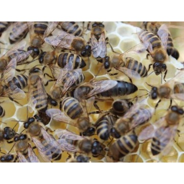 Odkład pszczeli