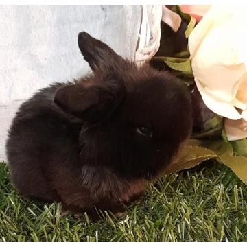 Mini Lop baranek króliczki Legalna Hodowla