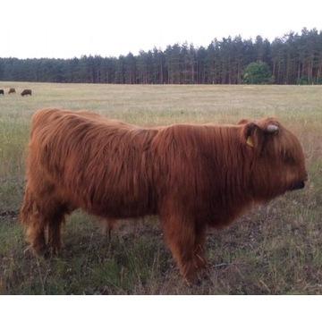 Highland Cattle, krowy szkockie,bydło mięsne, byk