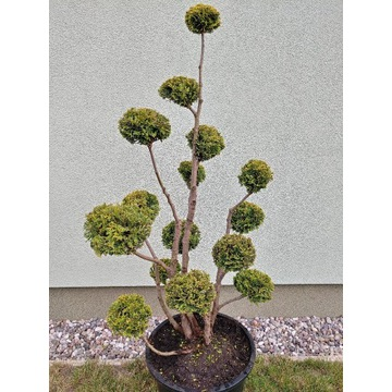 Formowany żywotnik bonsai niwaki
