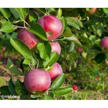 Jabłoń LOBO sadzonka z ceryfikatem EKO